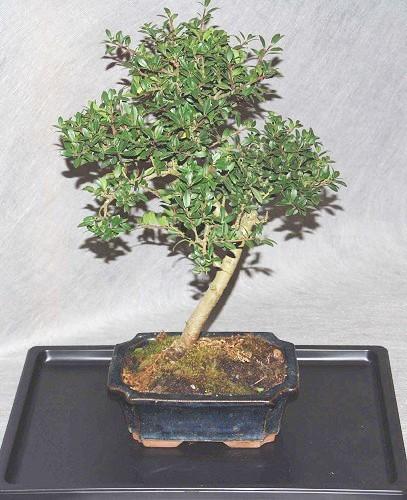 bonsai ilex crenata bonsai interflora galleria d arte e. Black Bedroom Furniture Sets. Home Design Ideas