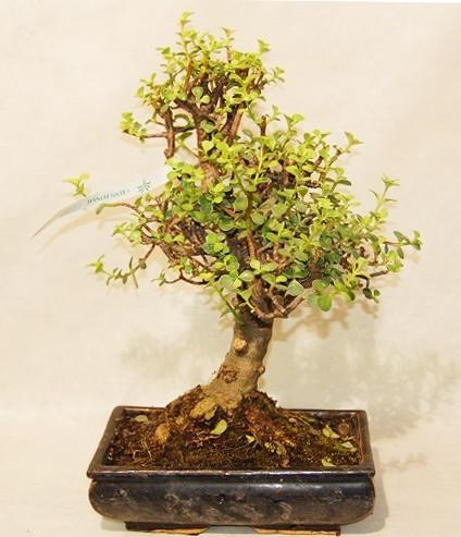 Portulacaria crassula comprare online coltivare bonsai for Comprare bonsai online