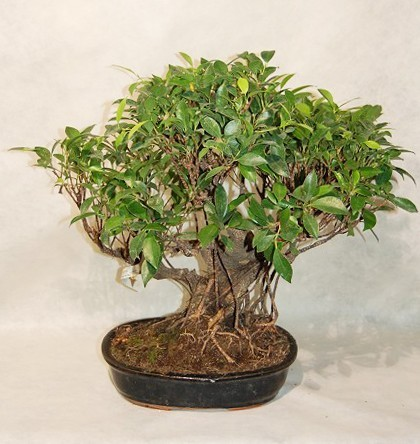 Ficus retusa comprare online bonsai ficus retusa giappone for Comprare in giappone on line