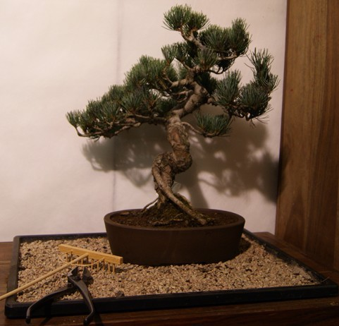 Pinus pentaphylla bonsai online compra domicilio pinus for Vendita on line bonsai