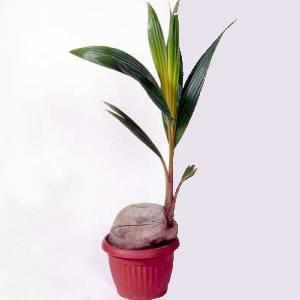 Artefiori cocco pianta perfetta per gli arredi moderni for Pianta di cocco