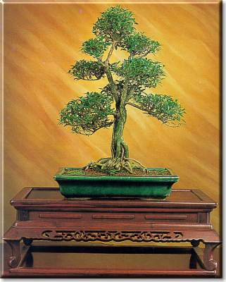 Artefiori serissa foedita bonsai da interno for Bonsai da interno