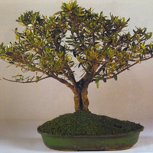 Artefiori bonsai da esterno olivo for Bonsai da esterno