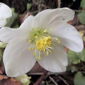 Artefiori elleboro nero for Elleboro bianco