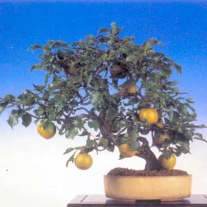 Artefiori bonsai da frutto il pero for Bonsai da frutto vendita