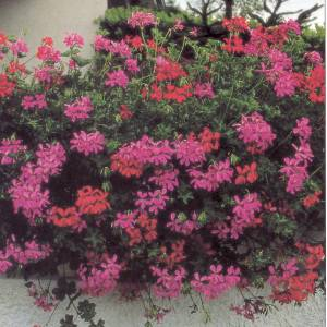 Artefiori geranio edera for Geranio parigino