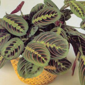 Artefiori maranta for Maranta pianta