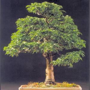 Artefiori bonsai di acero propagazione per talea for Acero bonsai vendita