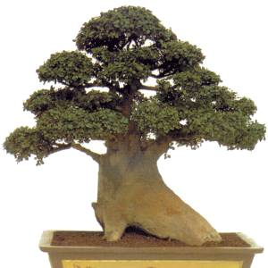 Artefiori bonsai di olmo propagazione per talea for Talea geranio