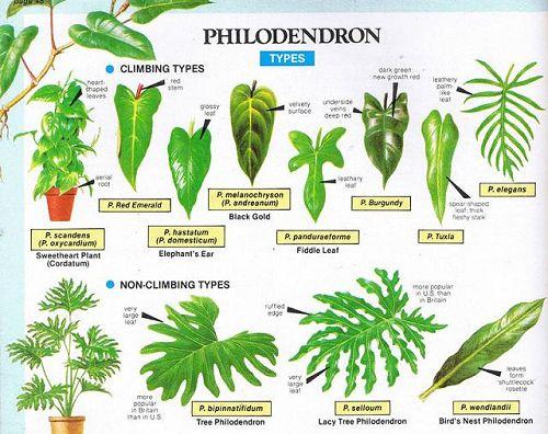 Piante Da Appartamento Filodendro.Artefiori Philodendron Filodendro Monstera Painta Appartamento