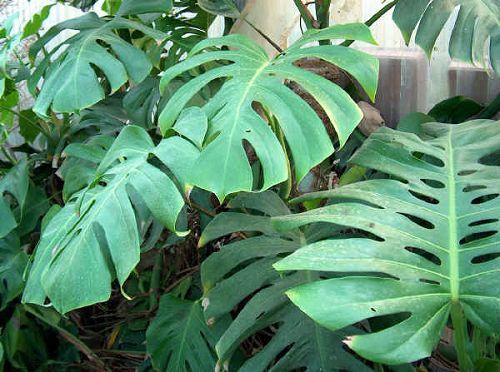 Piante Da Appartamento Monstera.Artefiori Philodendron Filodendro Monstera Painta Appartamento