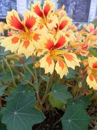 Galleria d arte e fiori genova vendita online piante fiori for Bonsai limone vendita