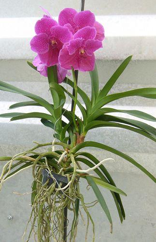 Artefiori orchidea vanda for Radici orchidea