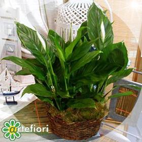 Artefiori lo spatifillo for Spatifillo pianta