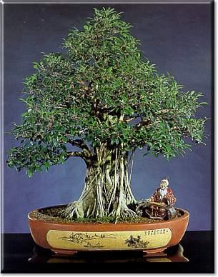 Artefiori ficus bonsai da interno for Bonsai da interno