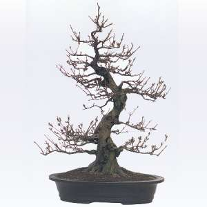 Artefiori bonsai da esterno il melograno for Bonsai da esterno