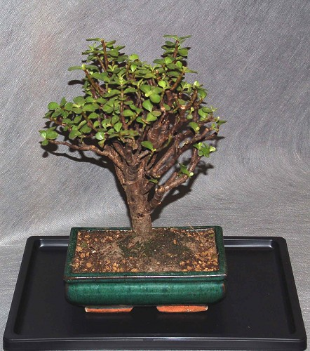 Bonsai portulacaria bonsai interflora galleria d arte e for Vendita on line bonsai