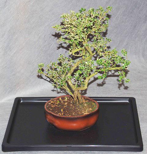 Bonsai serissa comprare online bonsai interflora galleria for Comprare bonsai online