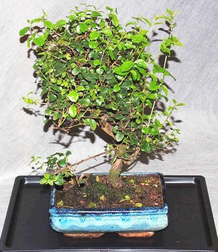 Bonsai sagerethia bonsai interflora galleria d arte e for Dove comprare bonsai