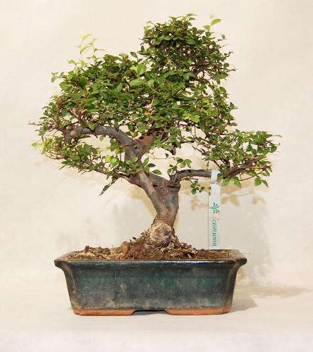 zelkova nire bonsai pianta zelkova nire cina genova arte