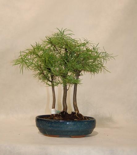 Pseudolarix bosco comprare online bonsai pseudolarix bosco for Comprare bonsai online