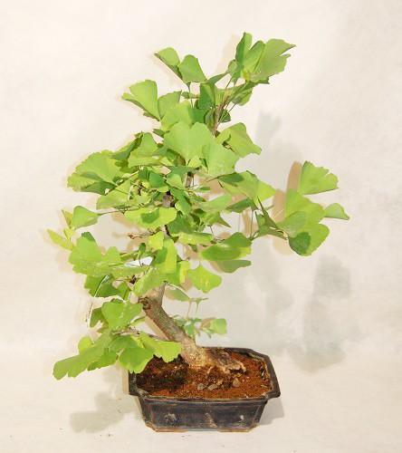 Ginko biloba bonsai ginko biloba pianta conifera caduca for Bonsai pianta