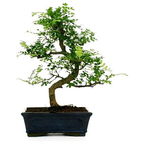 Bonsai shinus pepper o albero del pepe comprare online for Dove comprare bonsai