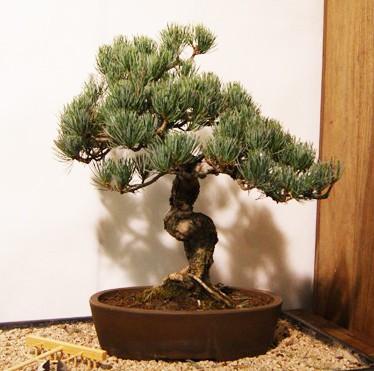 pinus pentaphylla bonsai online compra domicilio pinus