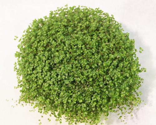 Artefiori - Gardenia pianta da interno o esterno ...