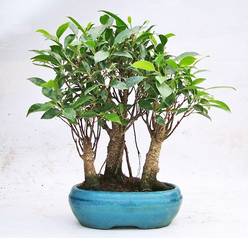 Bonsai ficus retusa bosco compra online bonsai ficus for Bonsai da interno