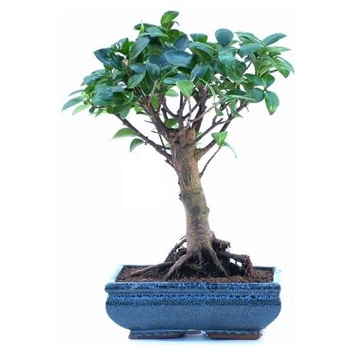 bonsai ficus formosanum a palla compra online bonsai ficus