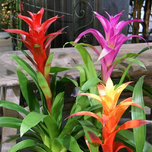 Artefiori guzmania pianta interno appartamento vendita for Catalogo piante e fiori