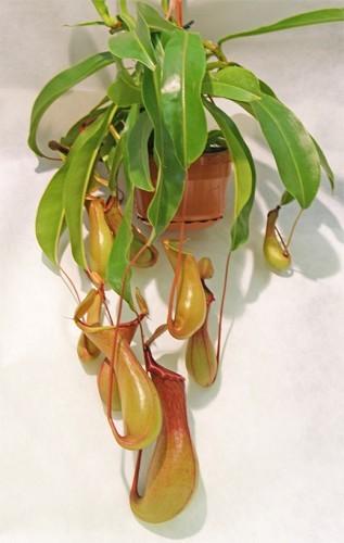 Artefiori for Pianta carnivora prezzo