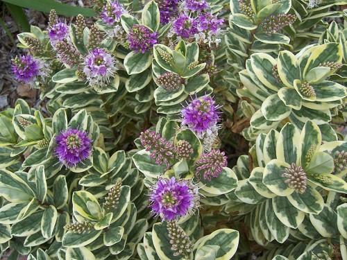 Artefiori pianta esterno veronica hebe variegata vendita - Gardenia pianta da interno o esterno ...
