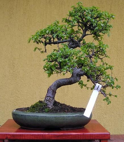 Carmona macrophylla artefiori bonsai carmona pianta t for Dove comprare bonsai