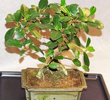 Bonsai Ficus  Crespi Bonsai