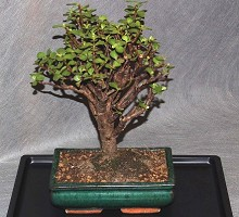 Bonsai Portulacaria  Crespi Bonsai