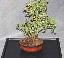 Plants Bonsai <span>Crespi Bonsai</span><br />Serissa Bonsai