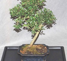 Bonsai Ilex Crenata  Crespi Bonsai