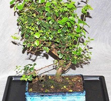 Bonsai Sagerethia  Crespi Bonsai