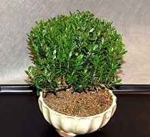 Bonsai Buxus Hayrlandii  Crespi Bonsai