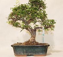 Plants Bonsai Zelkova Nire  Crespi Bonsai