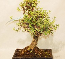 Plants Bonsai Portulacaria Crassula  Crespi Bonsai