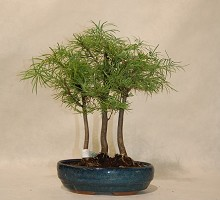 Plants Bonsai Pseudolarix Bosco  Crespi Bonsai