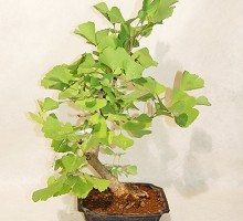Plants Bonsai Ginko Biloba  Crespi Bonsai