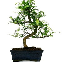 Bonsai Shinus Pepper o albero del pepe  Crespi Bonsai