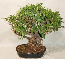 Plants Bonsai Ficus Retusa  Crespi Bonsai