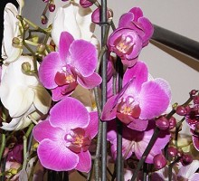 Plants Indoor Plants Phalaenopsis