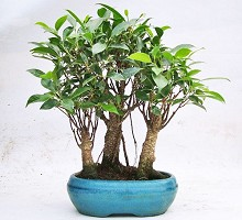 Bonsai Ficus Retusa Bosco  Crespi Bonsai