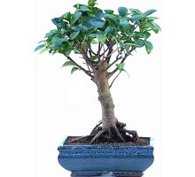 Bonsai Ficus Formosanum a palla  Crespi Bonsai